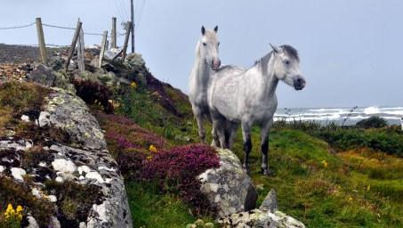 King 21 connemara ponies at Aughrismore, near Cleggan
