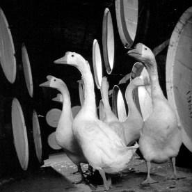 Goose for Dumbuck House Hotel 2