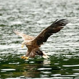 SEA EAGLES AT lOCH lOMOND 4