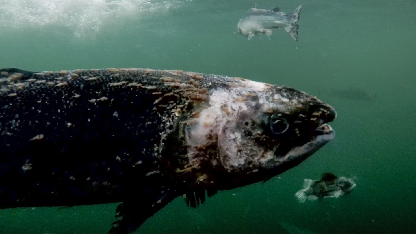 Investigation launched into footage of lice infested salmon