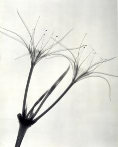 """Peruvian Daffodil,"" 1938, vintage gelatin silver print, 11 1/2 x 9 1/4 inches"