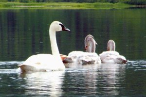 Byers Lake Trumpeter Swans