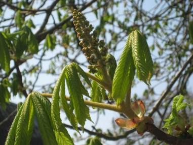 Kastanjetræets nyudsprungne blade.