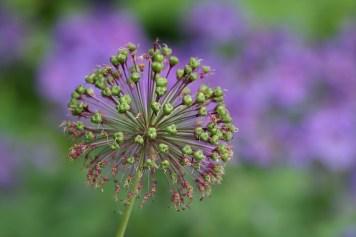 Prydløg er også dekorativ efter blomstring