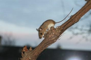 Fint kig til musen på vinstokken uden for stuevinduet.