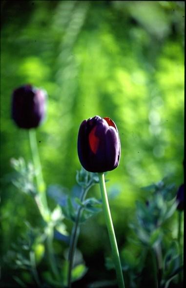 Tulipanen ´Recreado`