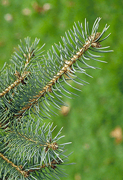 Picea pungens Fact Sheet