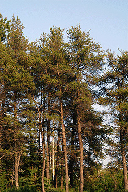 Pinus banksiana Fact Sheet