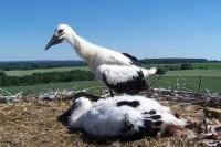 Z počátku se jeden adolescent snažil klapat zobákem a zastrašovat. Pak sebou flákl do hnízda a nechal se úplně v klidu okroužkovat