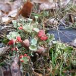 dutohlávka červcová (Cladonia coccifera)