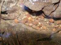 okružanka Sphaerium cornaeum