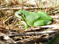 rosnička zelená v době páření