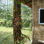 """""""vysazování""""orchidejí na stromy pomocí pletiva"""