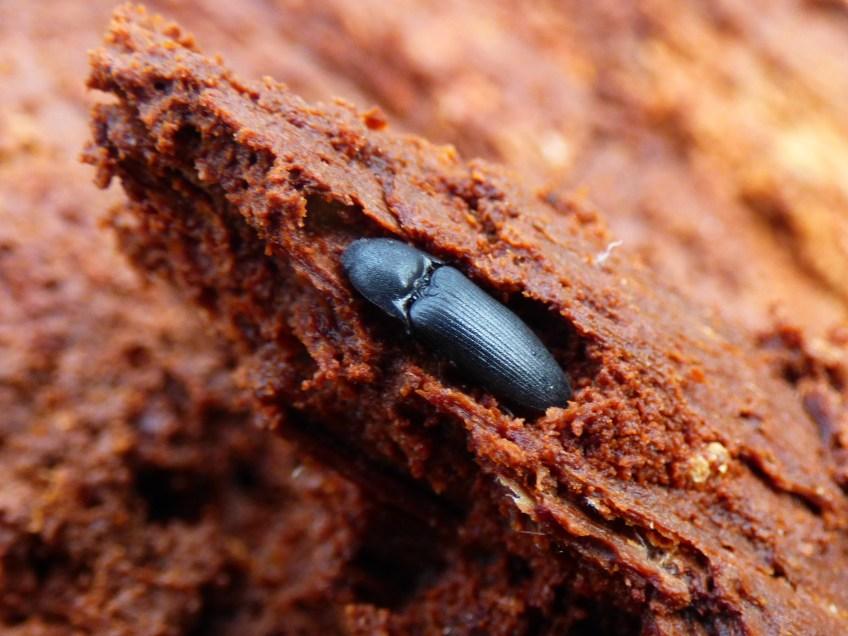 vzácný, v ČR vymírající kovařík Ampedus nigerrimus