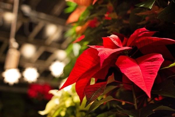 Mikulásvirág 2 - Hogyan legyen karácsonyra ismét szép a mikulásvirág?