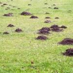 vakondtúrás - Tavaszi előkészületek 3. rész - Állati kártevők