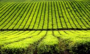 Tea ültetvény - Tea ültetvény
