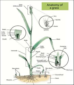 Anatomy of a Grass Figure 1 - Anatomy-of-a-Grass-Figure-1