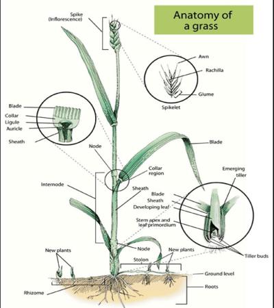 Anatomy of a Grass Figure 1 - Gyepápolási alapismeretek 1. rész - A fű anatómiája