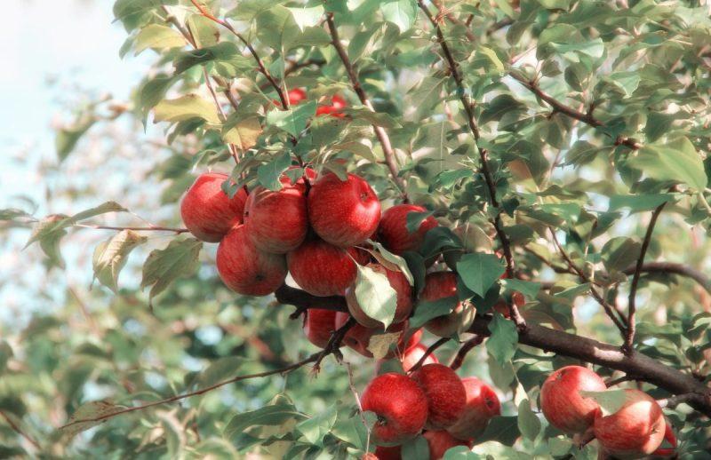 elma hasadı, elma bahçesi, elma toplamak