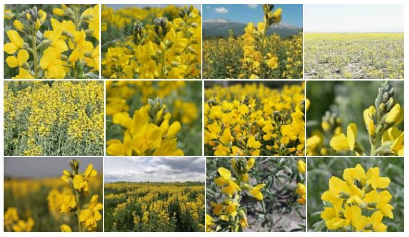 eber sarısı