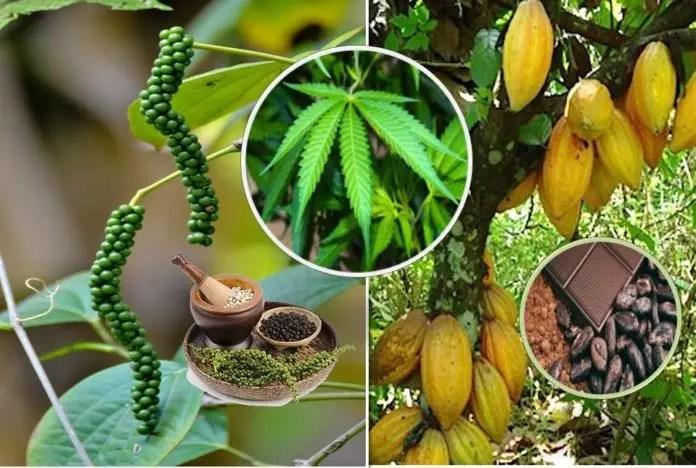 6 andre planter enn cannabis som er høye i helbredende cannabinoider