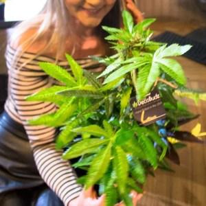Hvorfor ha cannabis plastplanter fra DecoBudz til dekorasjoner? 2 forskjellige typer ifra DecoBudz