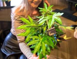 DecoBudz Original Artificial Cannabis Marijuana Hemp Plant 14-18 inches Tall