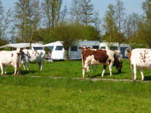 Heerlijk kamperen (bijna) tussen de koeien.