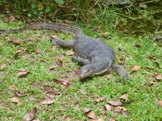 Eternal 888 at Sungei Buloh Part 2 Monitor lizard