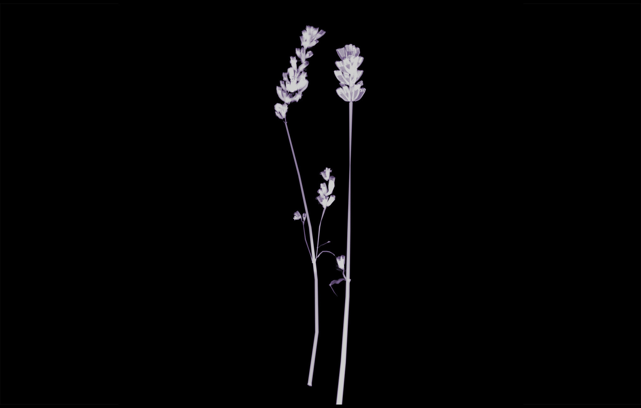 black lavender - denis assor