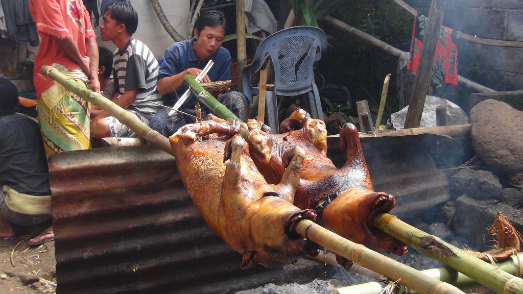 "Two ""suckling pigs"" that were being cooked for the village party."