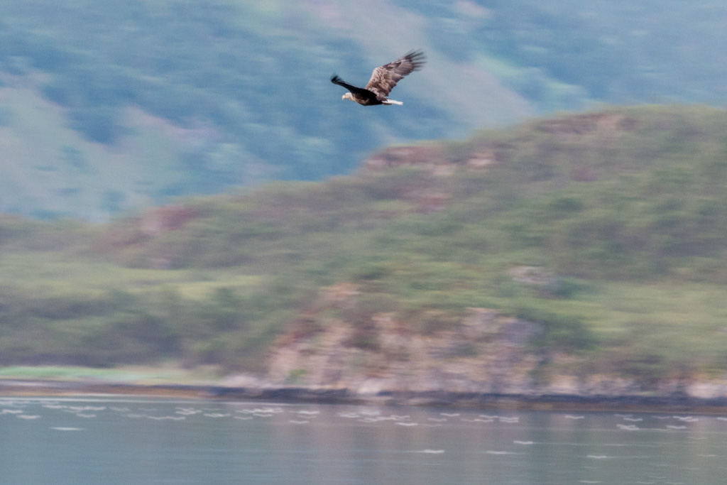 As we left the fjord, a magnificent sea eagle flew past.
