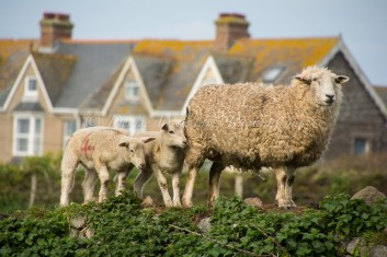 Mum and her babies enjoying an elevated view on an old stone wall at The Lizard, Cornwall