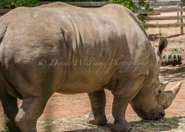 Rhino at Perth Zoo