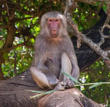 Baboon at Perth Zoo