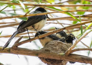 Parent plus three young Willy Wag Tails who look to have outgrown their nest! - Perth Zoo