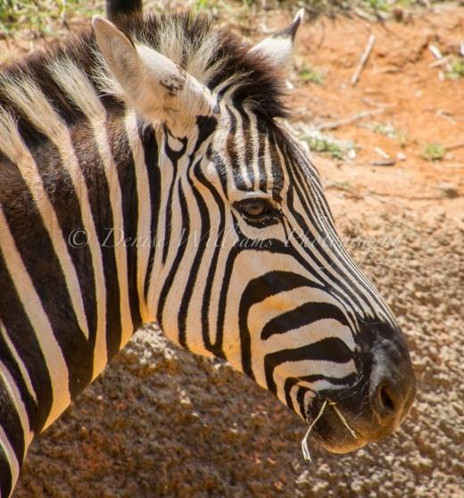Zebra at Perth Zoo