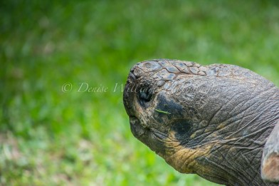 Giant Tortoise at Perth Zoo