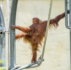 Young Orangutan at Perth Zoo
