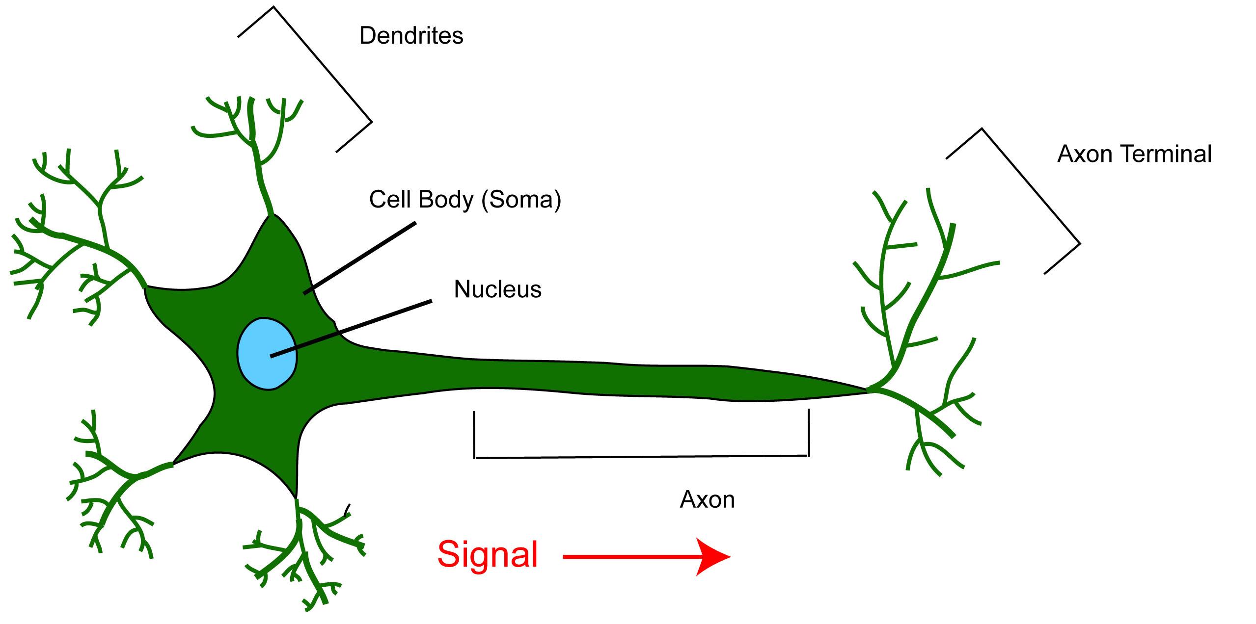 detailed neuron diagram 2005 ford escape serpentine belt neural circuitry denise