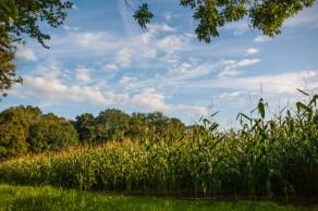 corn-field