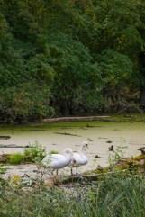 swans-on-pond