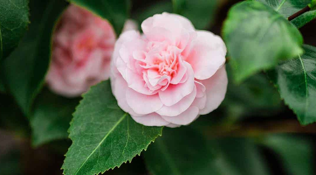 winter camellias