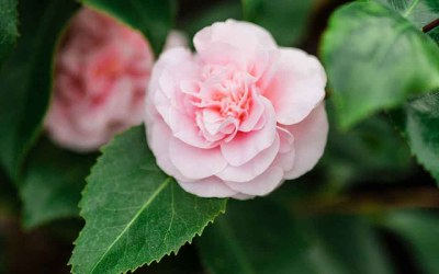 Fall & Winter-Blooming Camellias