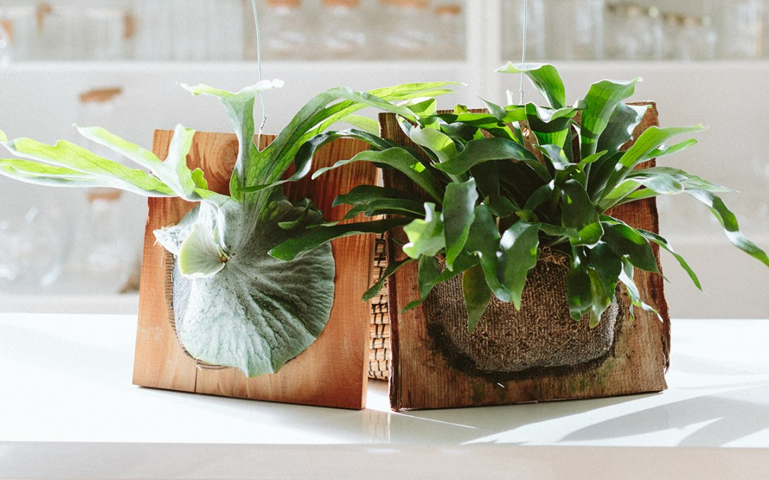 Wood Mounted Staghorn Ferns