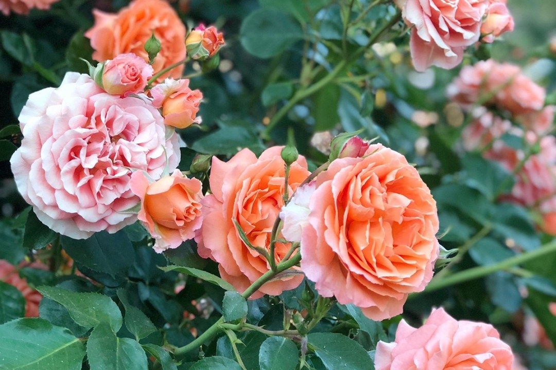 Basic Rose Care