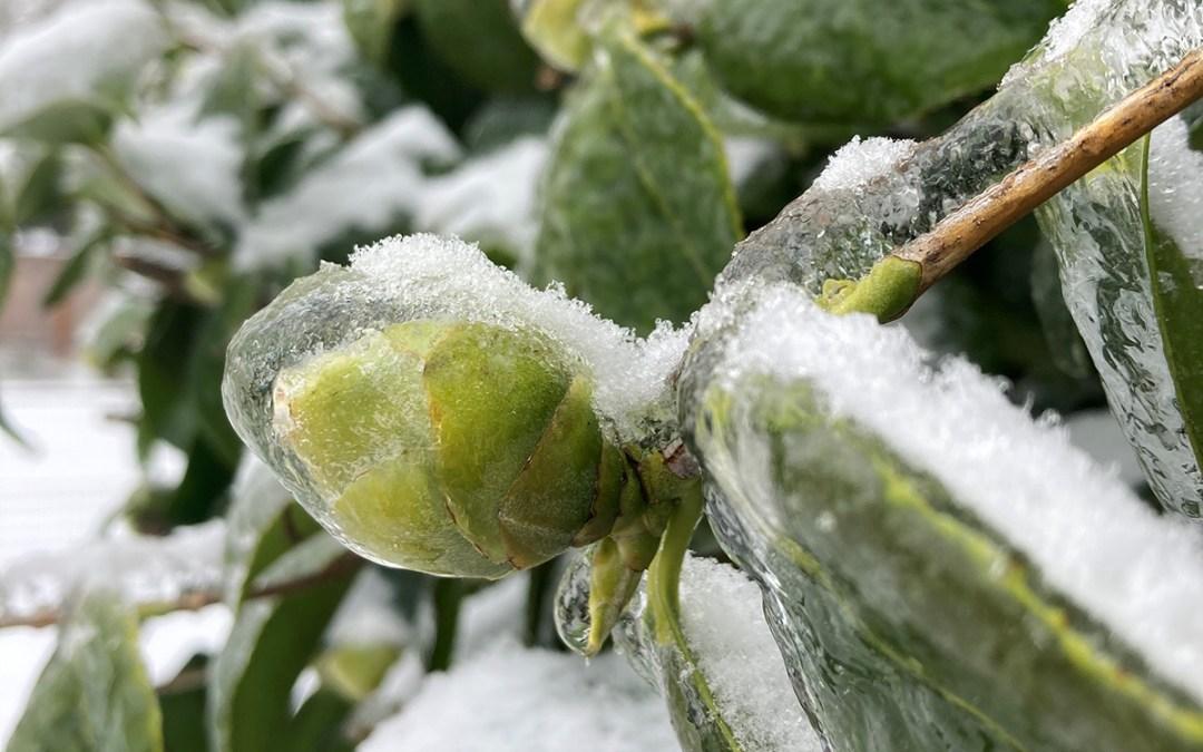 Frozen Camellia Bud