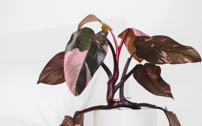 The Latest In Houseplant Trends: Is Pink the New Green?