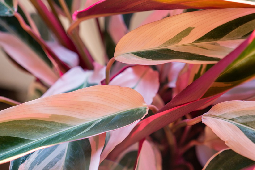 Photo of the leaves on a stromanthe plant
